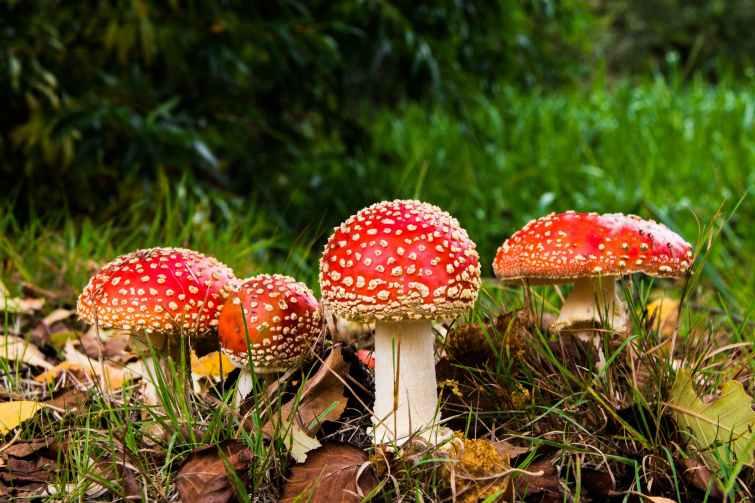nature grass mushrooms amanita