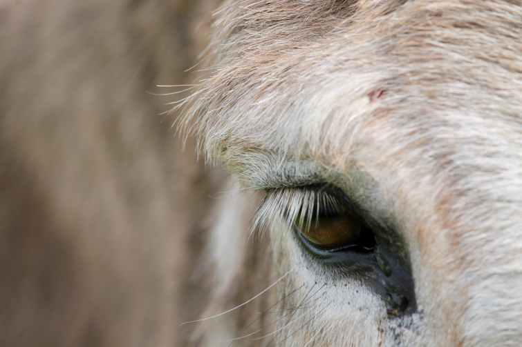 blur close up donkey eyes