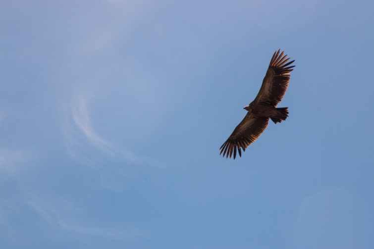 falcon on flight