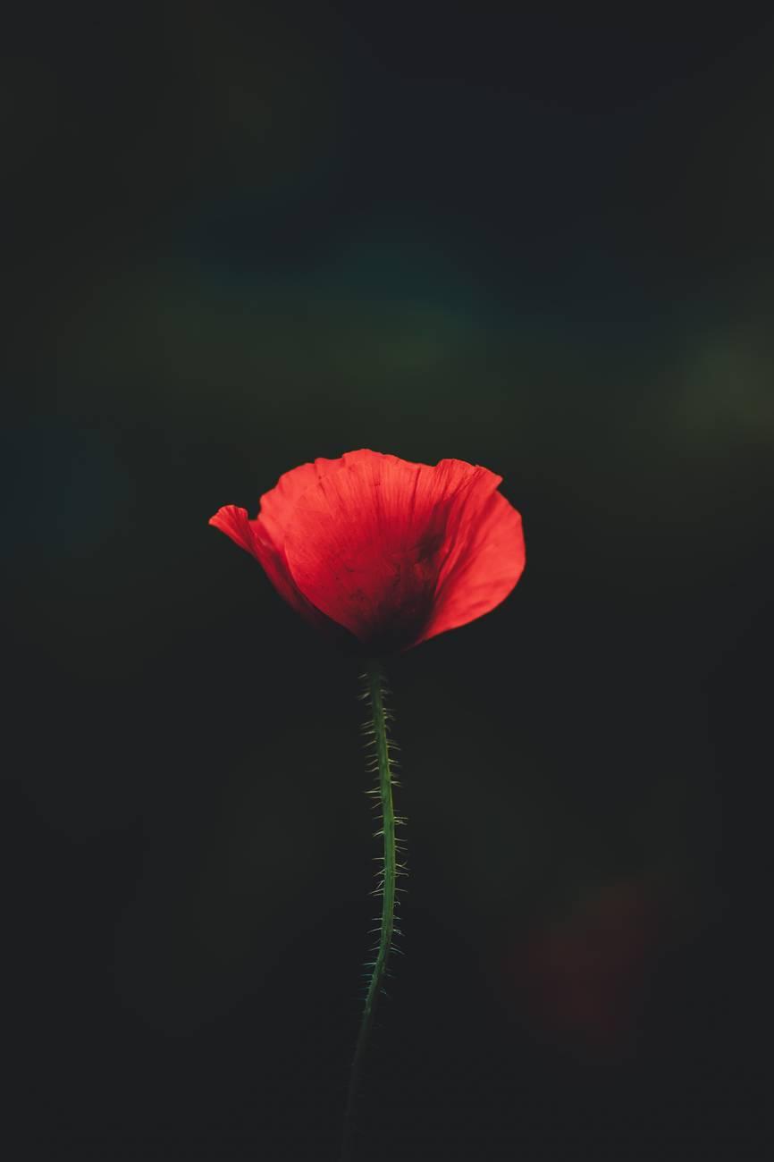 One poppy on a dark background