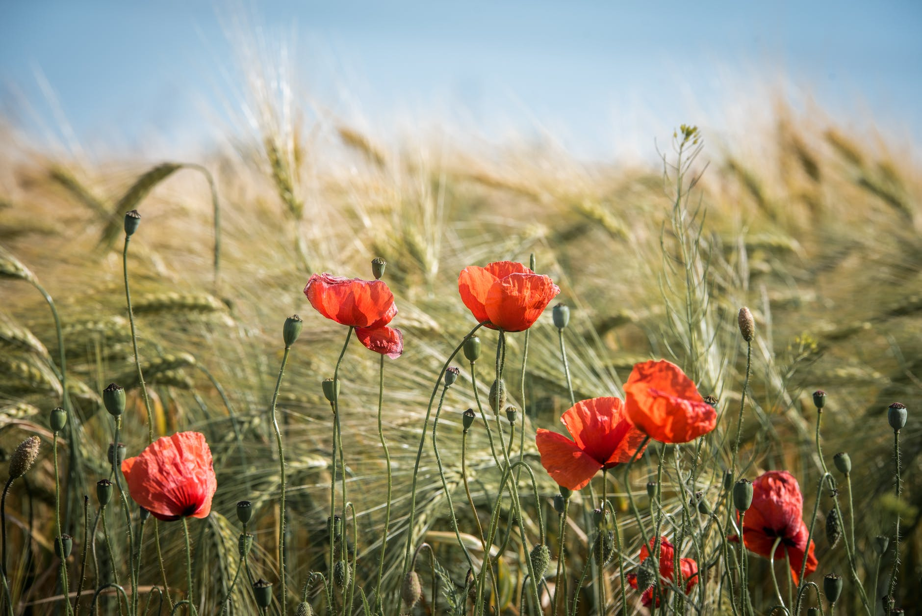 several red poppies growing in a field of wheat