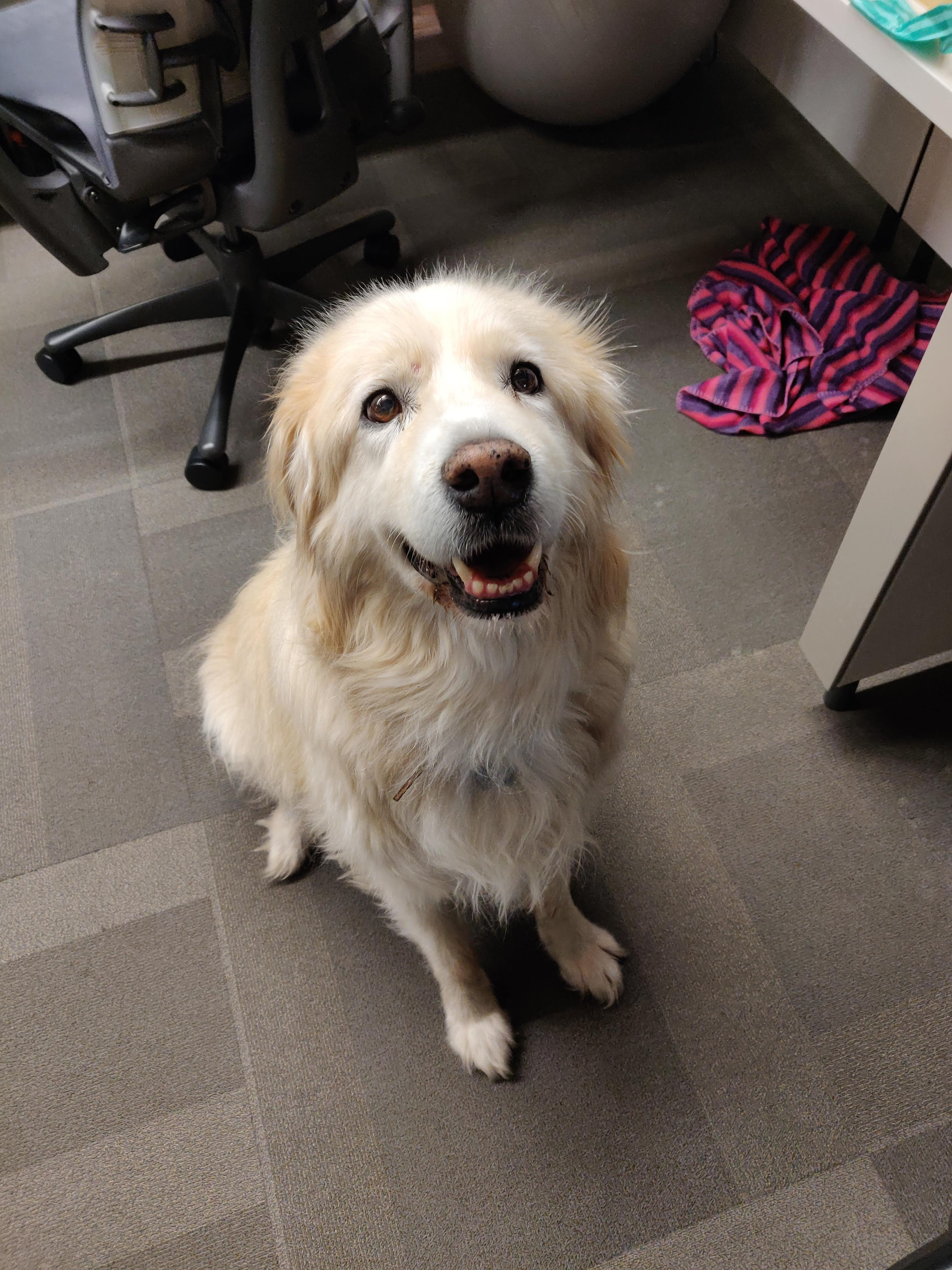 White Dog in an office cubicle, sitting on the floor anticipating a treat.