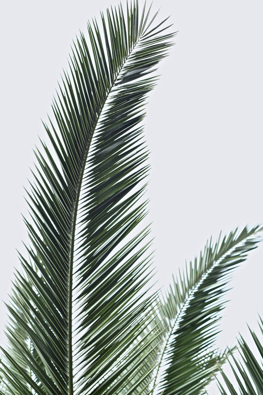 Photo by LIZ ROMO. Several green palm fronds against a white background.