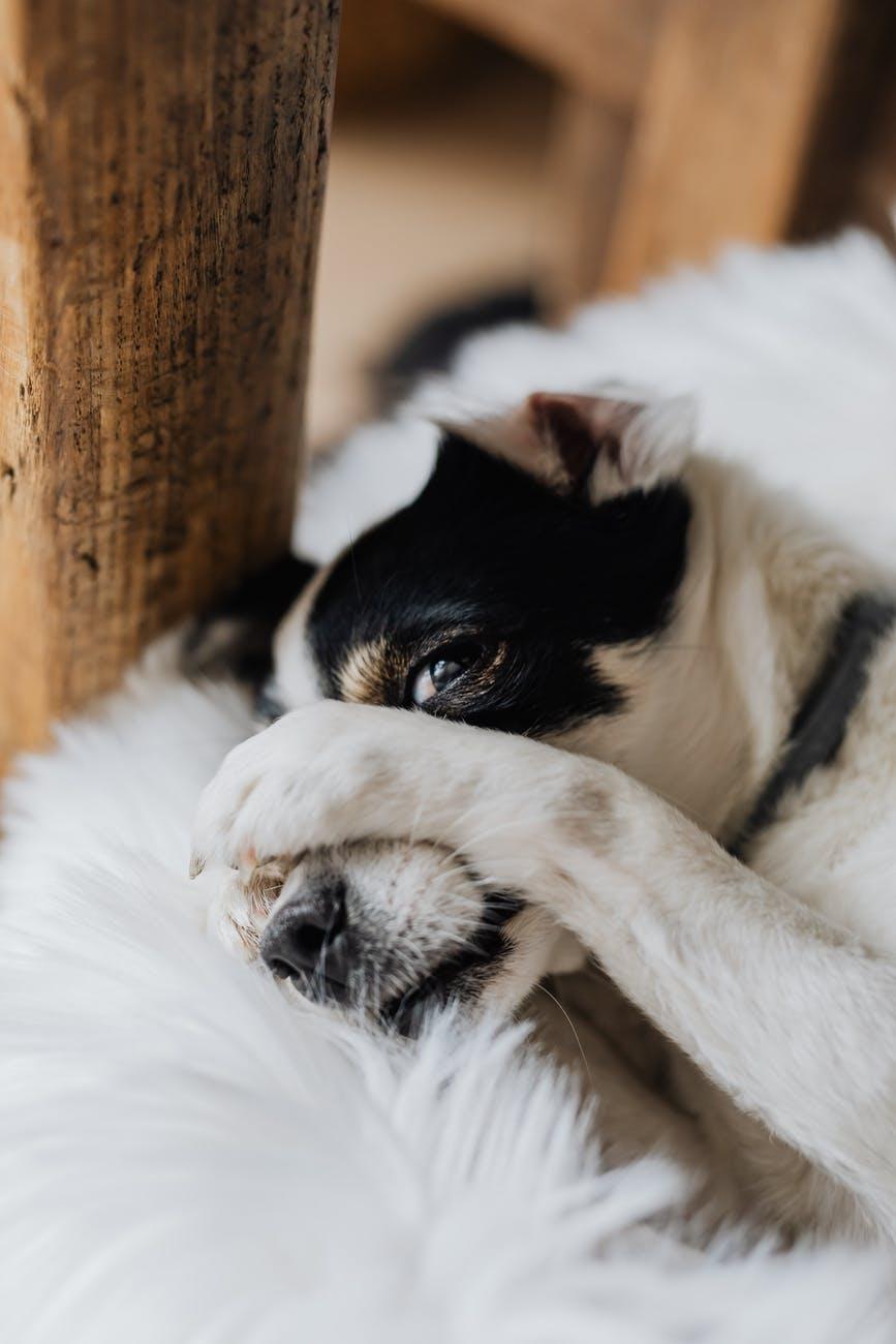 Photo by Karolina Grabowska. A dog laying on a shag rug with a paw over his muzz.e.